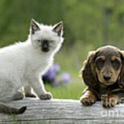 Siamese Kitten And Dachshund Puppy Poster