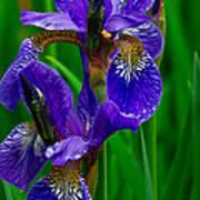 Siberian Iris Poster