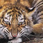 Siberian Tiger Cub Panthera Tigris Altaicia Wildlife Rescue Poster