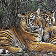 Siberian Tiger Cubs Endangered Species Wildlife Rescue Poster