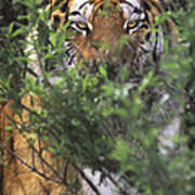 Siberian Tiger In Hiding Wildlife Rescue Poster