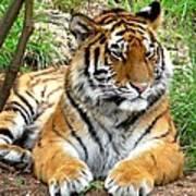 Siberian Tiger Poster