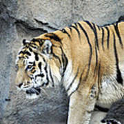 Siberian Tiger Panthera Tigris Altaica Usa Poster