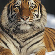 Siberian Tiger Portrait In Snow China Poster