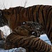 Siberian Tigers Poster by Brett Geyer