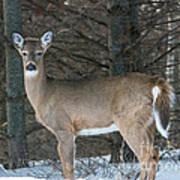 Side Of The Road Deer Poster
