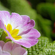 Side View Of A Spring Pansy Poster