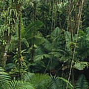 Sierra Palm Trees El Yunque Puerto Rico Poster