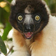 sifaka from Madagascar 8 Poster