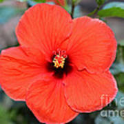 Silky Red Hibiscus Flower Poster