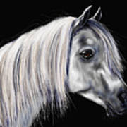 Grey Arabian Mare Painting Poster