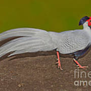 Silver Pheasant In Strutting Pose Poster