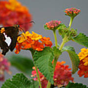 Silver-spotted Skipper Butterfly On Lantana Blossoms Poster