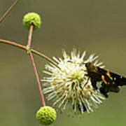 Silver-spotted Skipper On Buttonbush Flower Poster