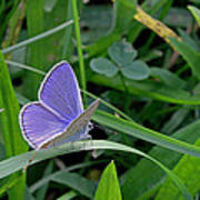 Silver Studded Blue Butterfly Poster