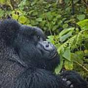 Silverback Up Close Poster