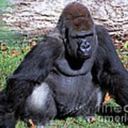 Silverback Western Lowland Gorilla Poster
