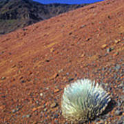 Silversword Haleakala Crater Maui Hawaii Poster