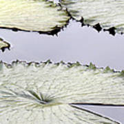 Silvery Sage Green Lily Pads Poster