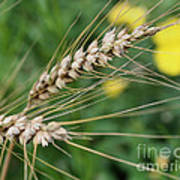Simply Dried Grass Poster
