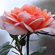 Simply Rose  Poster
