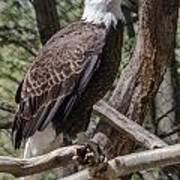 Single Bald Eagle Poster