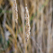 Single Blade Of Tall Field Grass Poster