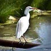 Single Cattle Egret Poster
