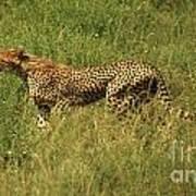 Single Cheetah Running Through The Grass Poster