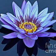 Single Lavender Water Lily Poster
