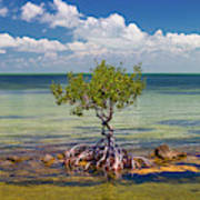 Single Mangrove Tree In The Gulf Poster