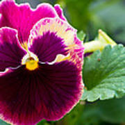 Single Pansy Poster