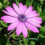 Single Pink African Daisy Against Green Foliage Poster