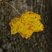 Single Poplar Leaf Poster