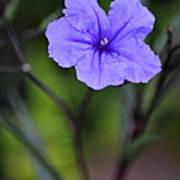 Single Purple Mexican Petunia Ruellia Brittoniana Poster