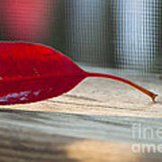 Single Red Leaf Poster
