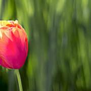 Single Tulip Flower On Green Background Poster