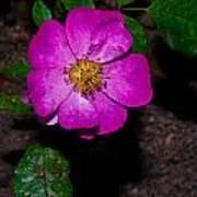 Single Wild Rose Poster