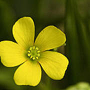 Single Yellow Flower Poster by John Holloway