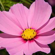 Singular Pink Cosmos Poster