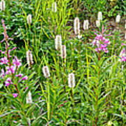 Sitka Burnet And Tall Fireweed In Katmai National Preserve-ak Poster