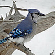 Sitting Blue Jay Poster