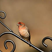 Sitting Pretty Red House Finch Poster