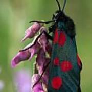 Six Spotted Burnett Moth Poster