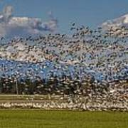 Skagit Snow Geese Liftoff Poster