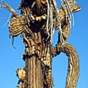Skeleton Of A Saguaro Tree Poster
