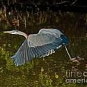 Skimming Great Heron Poster