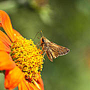 Skipper Butterfly On An Orange Flower Poster