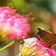 Skipper Butterfly On Mimosa Flower Poster