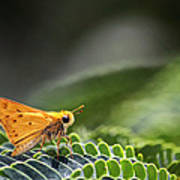 Skipper Butterfly On Mimosa Leaf Poster